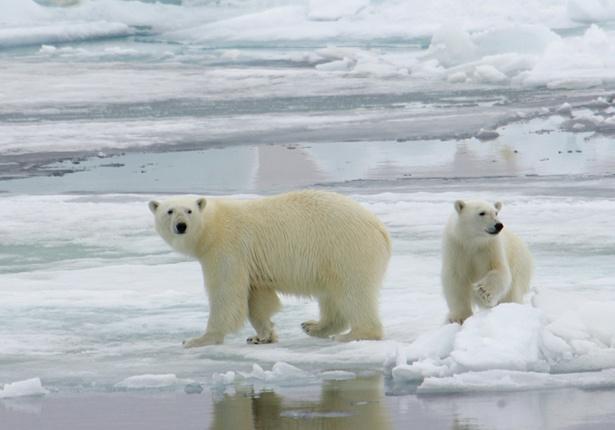 Könige der Arktis: Eisbären