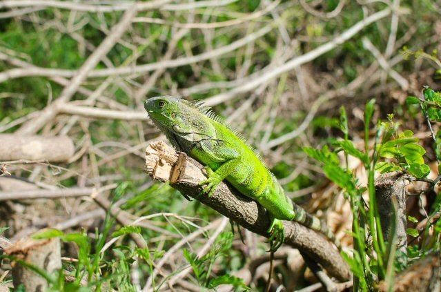 Ein Iguana auf einem Ast im Norden Puerto Ricos
