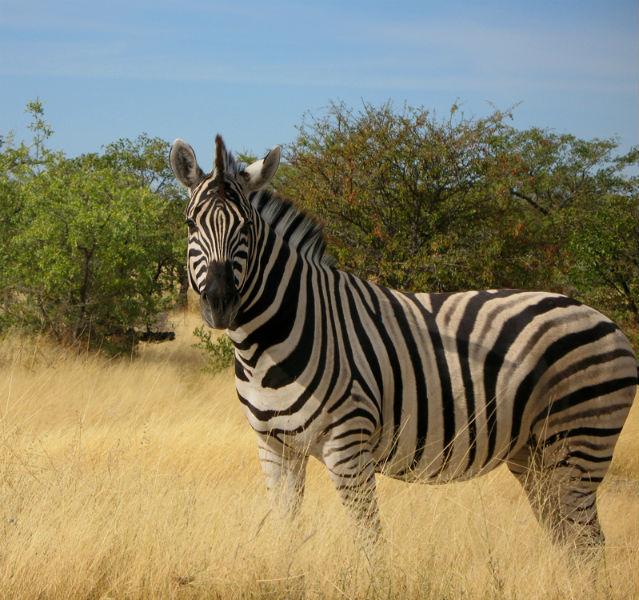 Ein Zebra steht vor einem Gebüsch