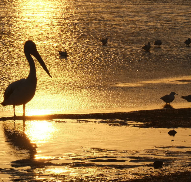 Der Seven Mile Beach: Pelikane im Sonnenuntergang. Die Vögel warten auf Angler, vielleicht gibt es ja etwas ab vom Fang