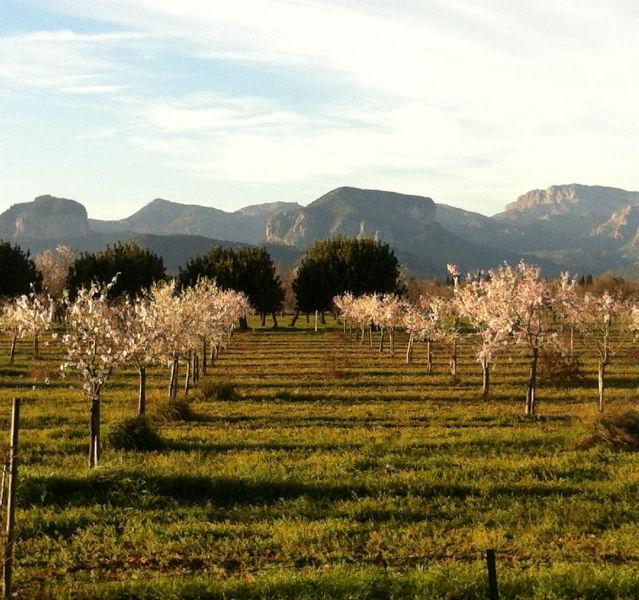 Unsere Lieblingsinsel im Frühjahrslook: Die Mandelblüte auf Mallorca begann in diesem Jahr schon im Februar