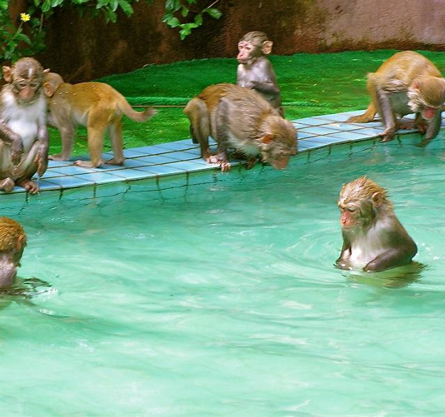 Nicht gestellt und nicht retuschiert: Autor Hans Schloemer wurde tatsächlich Zeuge, als Äffchen sich in einem Pool auf Hainan abkühlten – zum Glück war's nicht der eigene Hotelpool