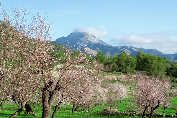 Die Mandelblüte auf Mallorca ist ein ganz besonders Naturschauspiel