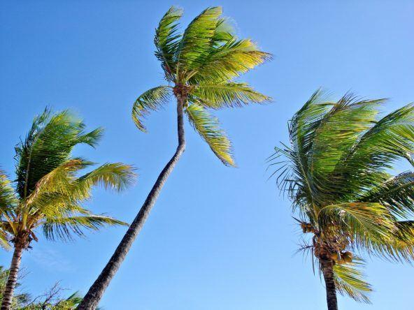Karibik Palmen