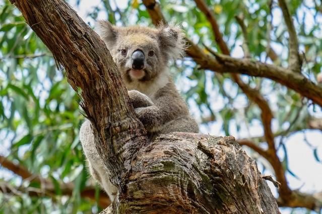 Kaola Australien Cape Otway