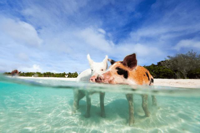 Auf den Bahams fühlen sich die Rüsseltiere sauwohl.