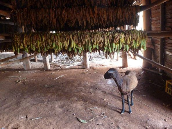 Tabak bei der Trocknung