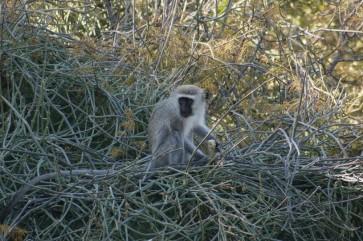 Affen im Krüger Nationalpark in Südafrika