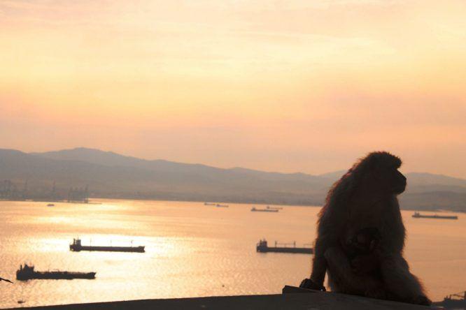 Berberaffen in Gibraltar