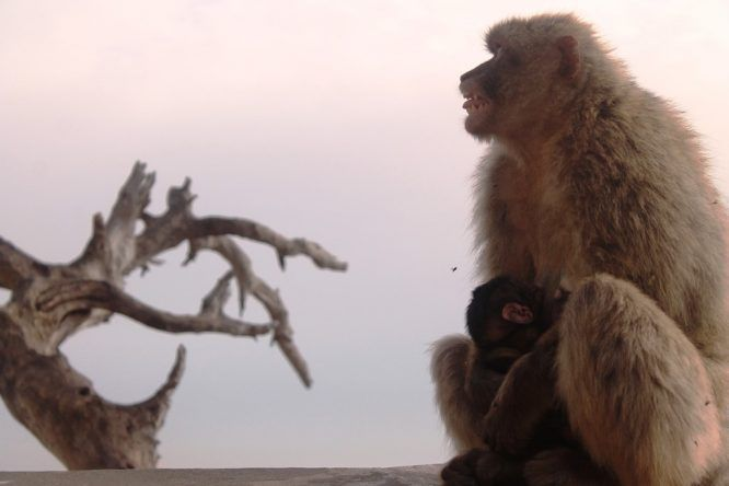 Affenmutter mit Jungem