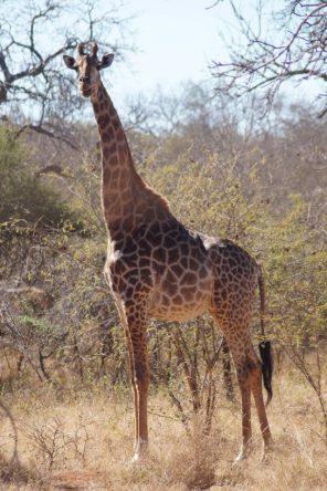 Eine wunderschöne majestätische Giraffe