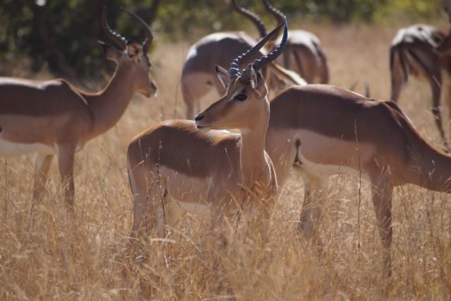 Eine Gruppe von Impalas im Krüger Nationalpark in Südafrika