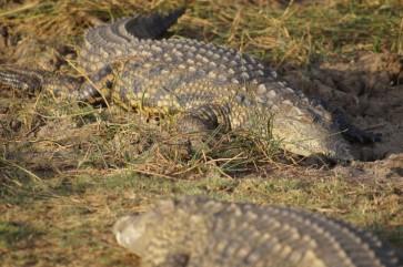 Sonnende Krokodile in St. Lucia in Südafrika