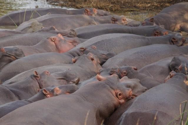 Große Nilpferde in St. Lucia in Südafrika