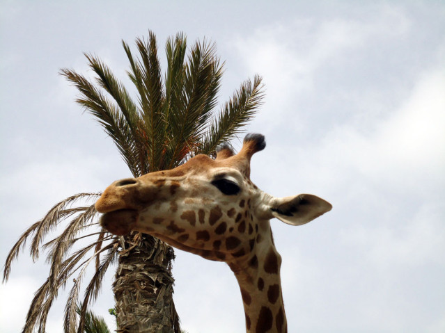 Giraffe Oasis Park Fuerteventura