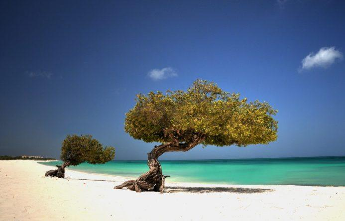 © Divi-Divi Bäume   Foto ATA