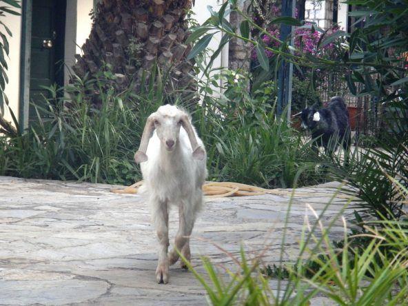 Hier sind Ziegen als Haustiere keine Seltenheit