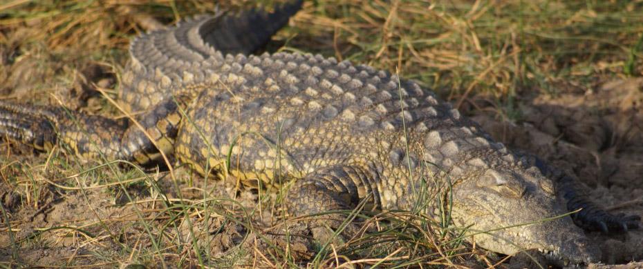 Sonnendes Krokodil in Südafrika