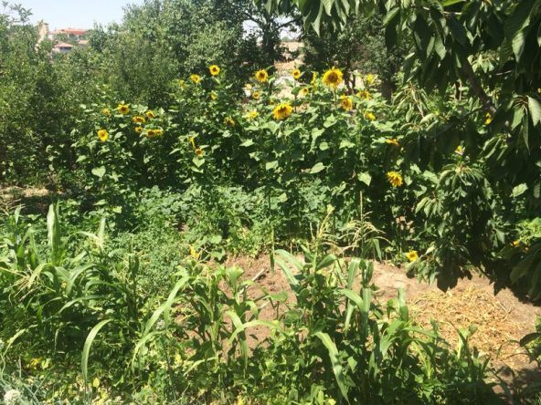 Riesige Sonnenblumen in Kappadokien