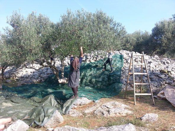Einheimische bei der Olivenernte