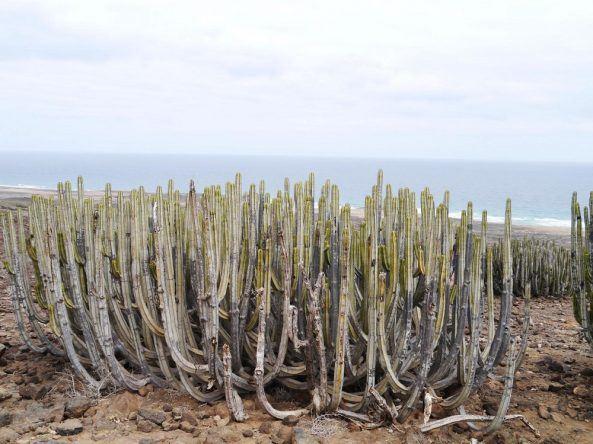 Wolfsmilch-Pflanzen gibt es im Naturpark von Jandía zu bestaunen