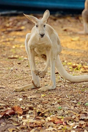 Kängurus treffen und beobachten auf der Kangaroo Island