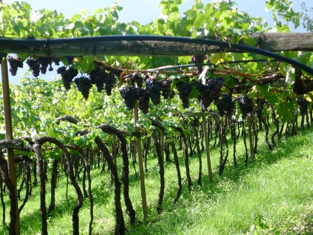 Weintrauben Südtirol