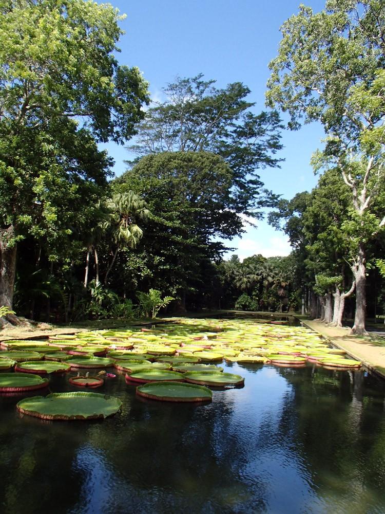 Wasserlilien Mauritius