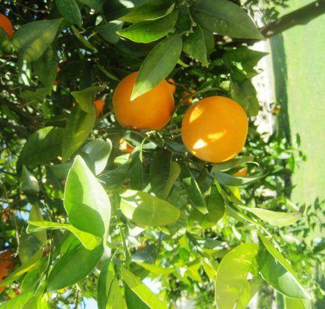 Sonnengereifte Orangen schmücken die Landschaft