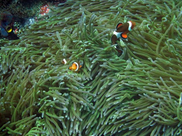 Clownfische Bali