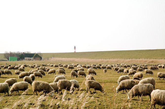 Schafe Westerhever St. Peter Ording