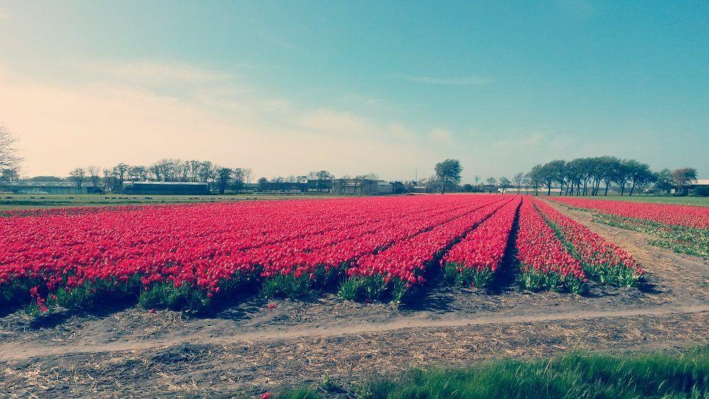 Tulpenfeld