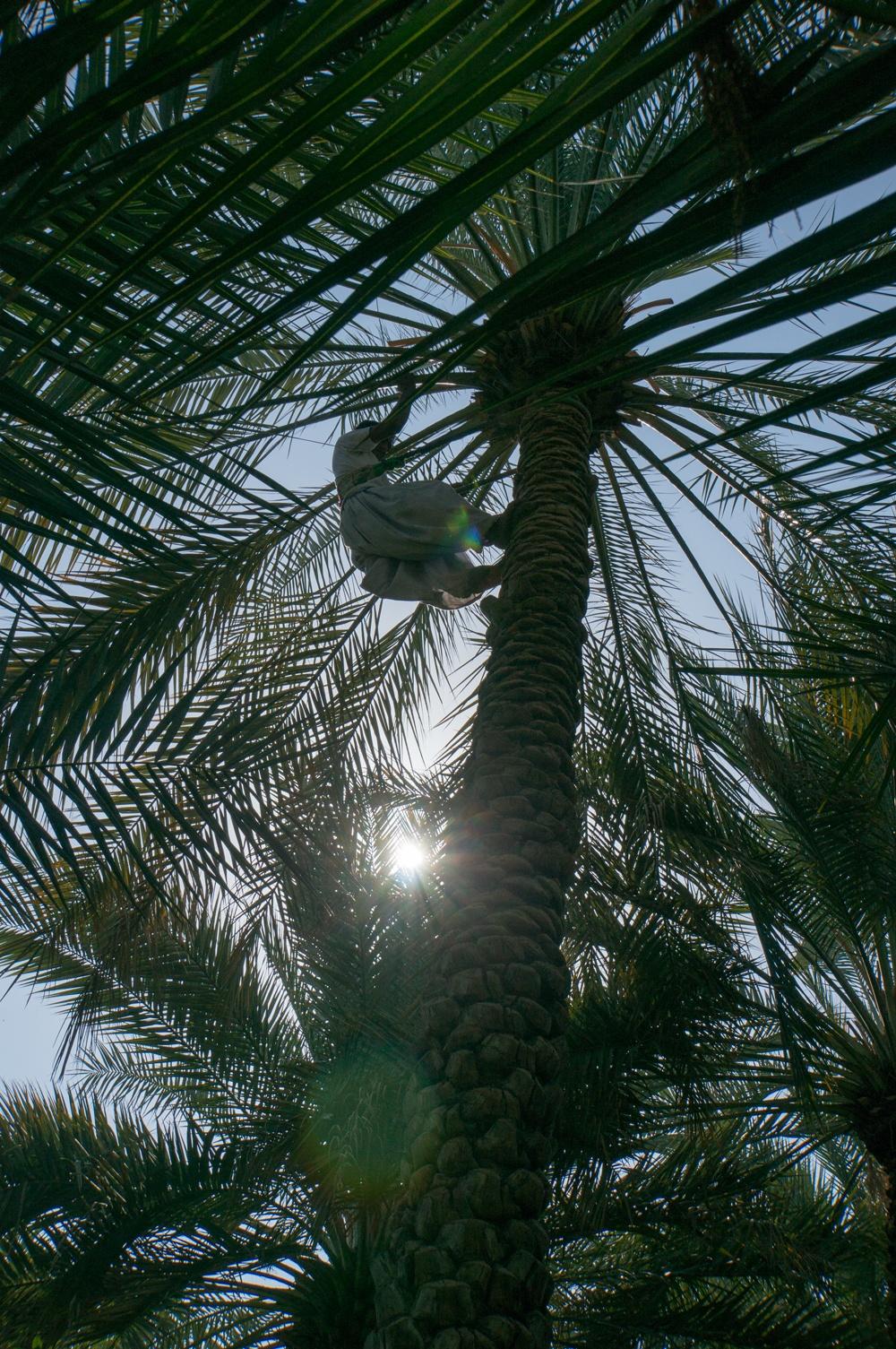 Palmenoase in Al Ain
