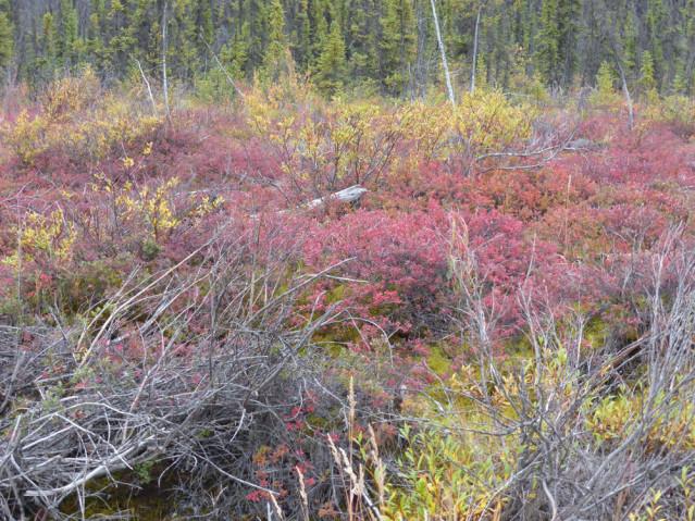 Herbstfärbung auf dem Taylor Highway