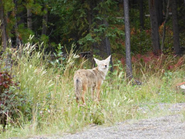 Kojote am Straßenrand