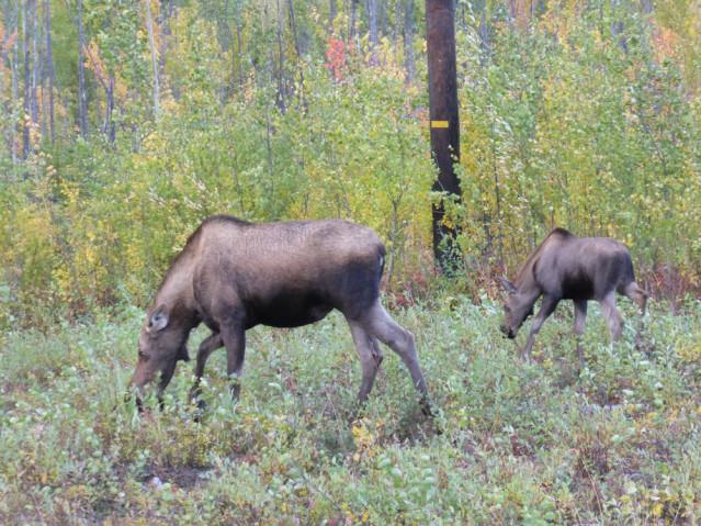 Moose Kuh mit Kalb