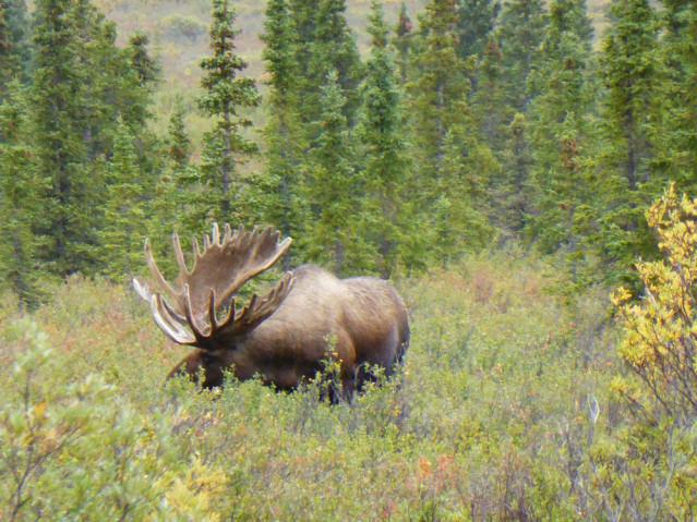 Moose Alaska Elch