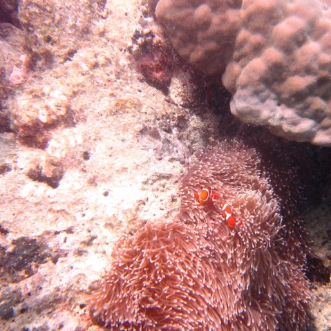 Clownfisch / Anemonenfisch Great Barrier Reef