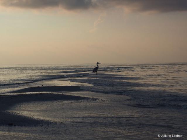 Graureiher Malediven