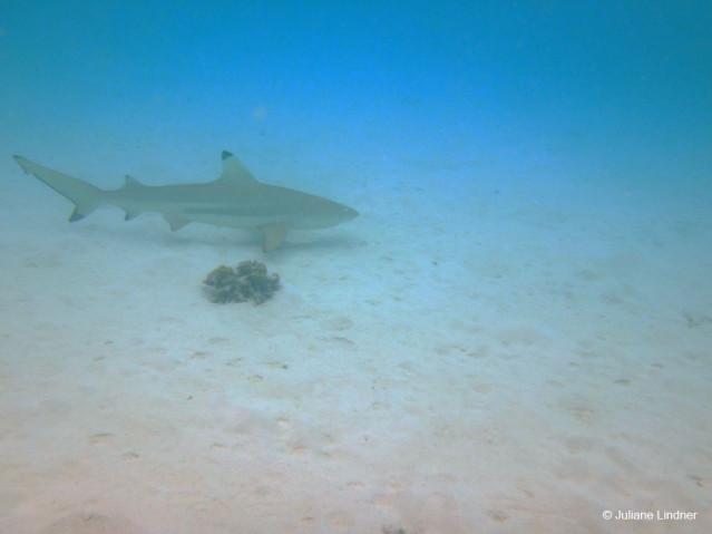 Begegnung mit einem Schwarzspitzen-Riffhai Malediven