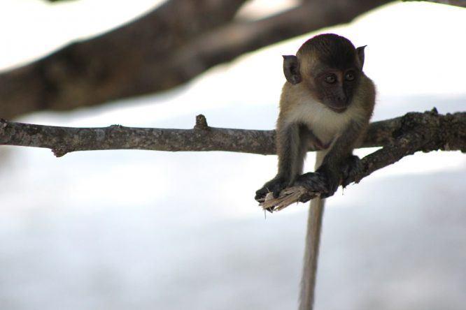 Kleiner Affe auf Koh Lipe