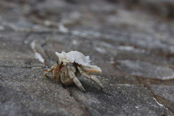 Ein Krebs in der Muschel