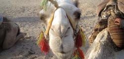 Wüste Ägypten: Kamel & Quad