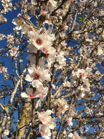 Mandelbaumblüte auf Mallorca