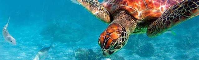 Die Meeresschildkröte Caretta Caretta