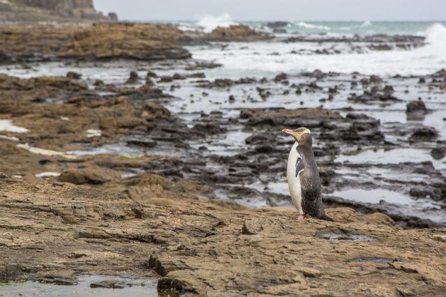Gelbaugen-Pinguin