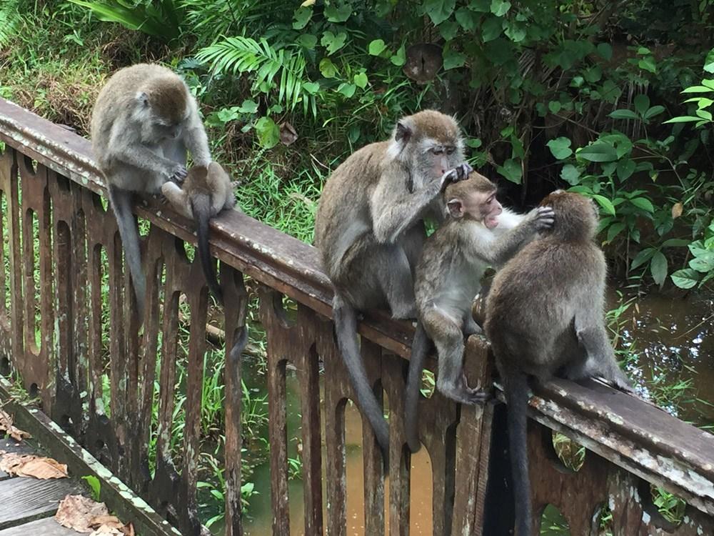 Langschwanz-Makaken lauern am Wegesrand um den Touristen etwas Schmackhaftes abzuluchsen