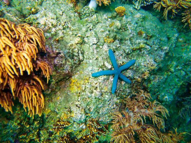 Der Blaue Seestern liebt die warme Sonne, deren Strahlen am Korallenriff brechen