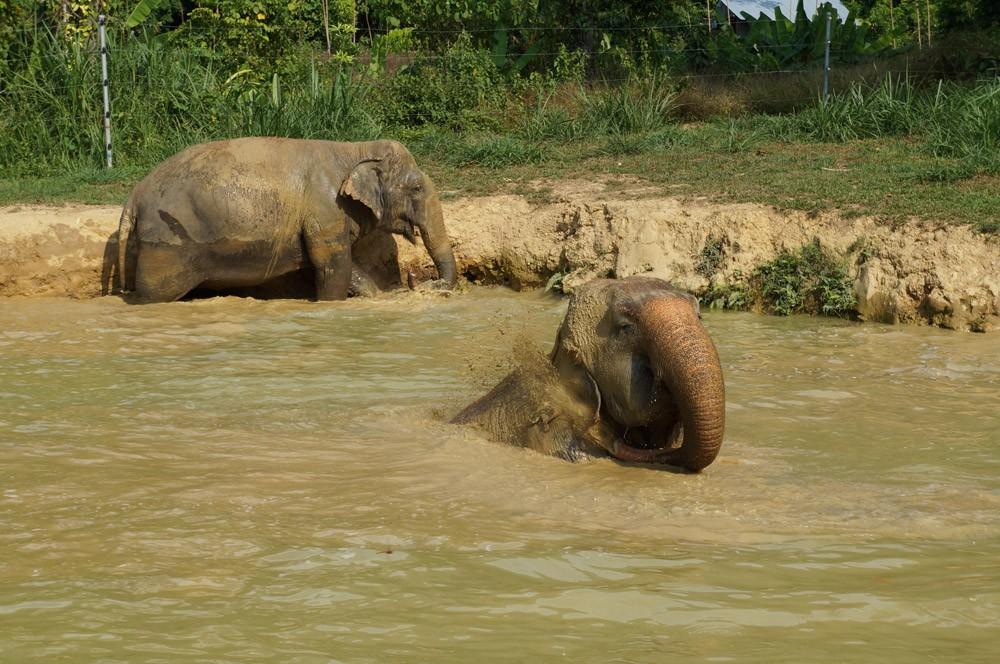Die Elefanten beim Baden