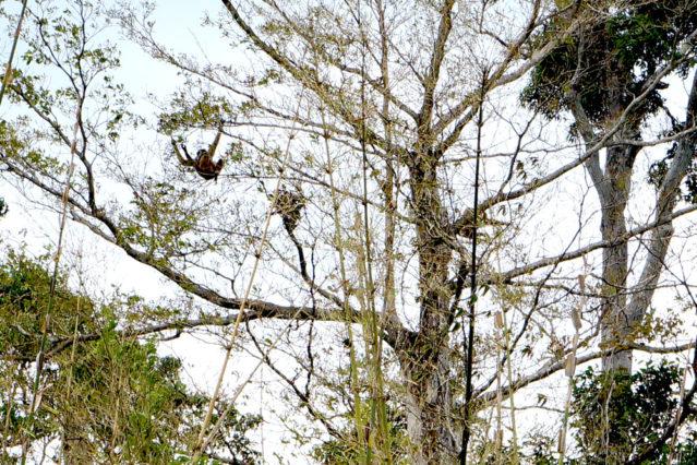 Und wir haben sie doch gesehen, die Gibbons